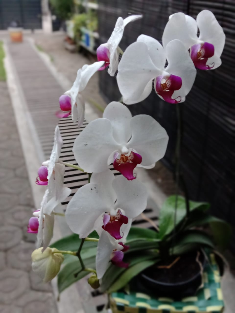 SAY IT WITH ORCHID